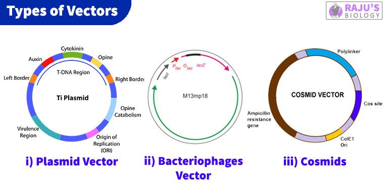 Plasmid vector, Bacteriophage vector, Cosmid