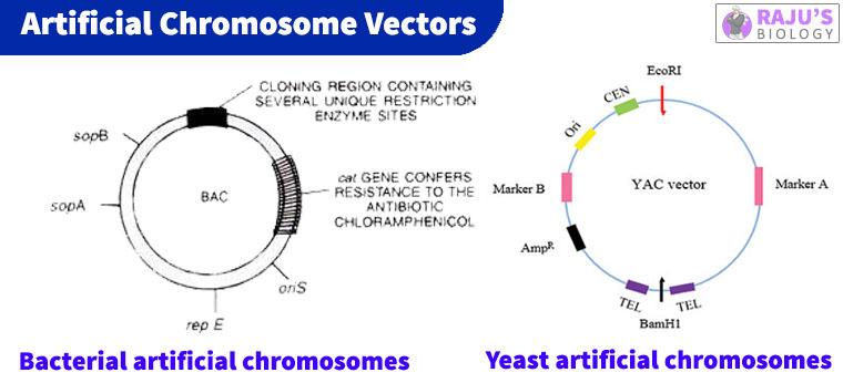YAC Vector, BAC Vectors