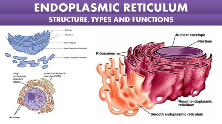Endoplasmic Reticulum Structure