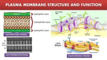 Plasma Membrane Structure