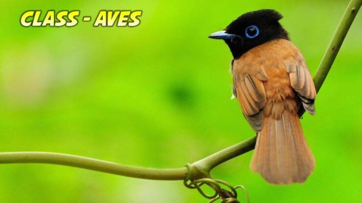 Aves General Characteristics