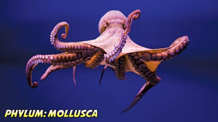 Mollusca General Characteristics, Classification and Examples