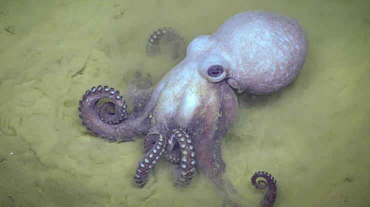 Octopus General Characteristics