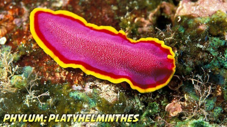 Platyhelminthes General Characteristics